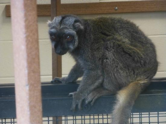 Traditional Ringtail Lemur (Zoboomafoo) - Picture of Duke