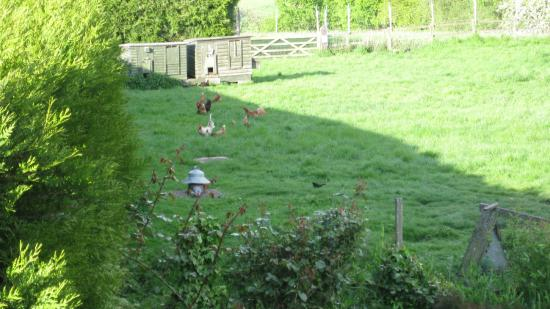 Wall Hill Farm Guest House: Chickens whose eggs we had for breakfast