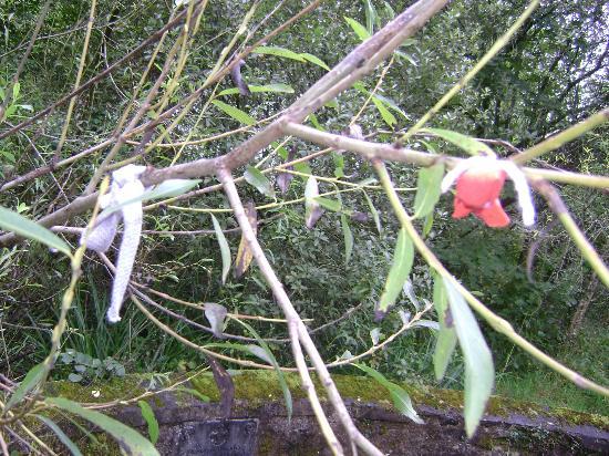 St. Brigid's Well: Na árvore próxima, fitas amarradas em agradecimentos e pedidos.