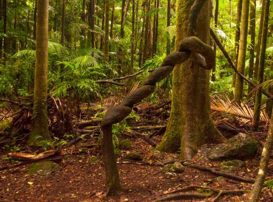 The Channon, Australia: Twisting vine