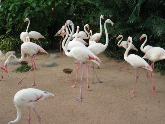 Si Racha, Thailand: Flamingos
