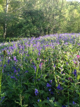 Firs Farm Bed and Breakfast: Bluebells