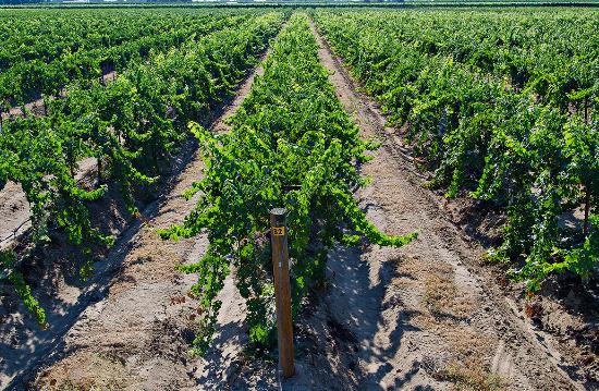 Sanger, CA: 40 acre vineyard
