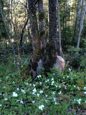 Omena, MI: trillium in our woods