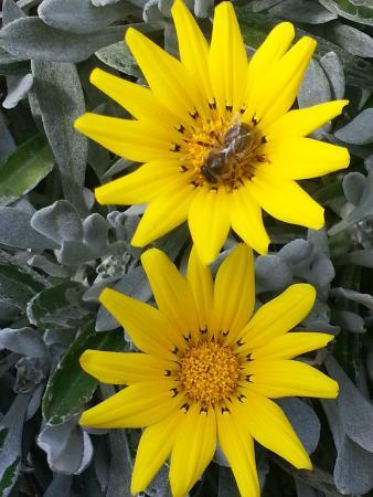 Jardin aux Plantes Parfumees la Bouichere: Abeille butinant les fleurs jaunes