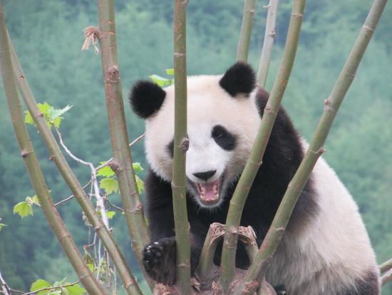 Eu E A Floresta De Bambus Lindo Picture Of Wolong Giant Panda