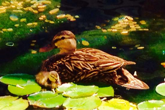 Downtown At The Gardens: Mother Duck & Chick