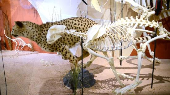 Orlando, FL: Cheetah Skeletons/Taxidermy Comparison