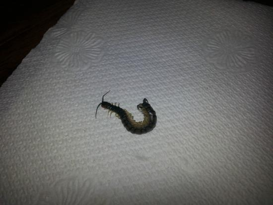 Greensprings Vacation Resort: The centipede that bit me in our unit