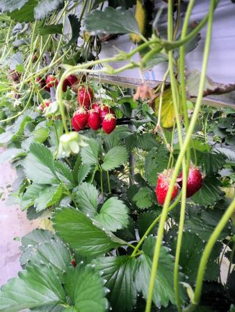 Shorenji Lake tourist Village Strawberry Garden