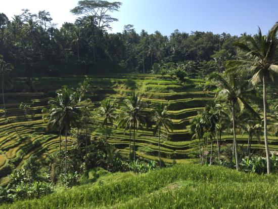 Terrace rice field picture of tegalalang rice terrace for Tegalalang rice terrace ubud