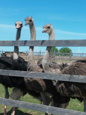 Eco-Farm Izborsk Ostrich