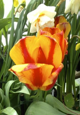 Smith College Botanic Garden : Smith College Spring Flower Show