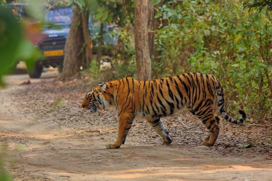 another tiger in bijrani
