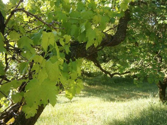 Agriturismo Roccagelli: Vite maritata ad acero campestre: archeologia agraria nel prato dell'Agrit. Roccagelli, Meggiano