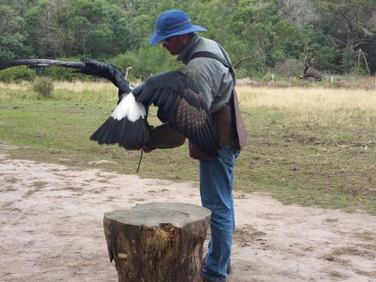 Radical Raptors : Accomplished falconer, Dennis Robson, puts magnificent Bella, the rescued Verraux Eagle, through