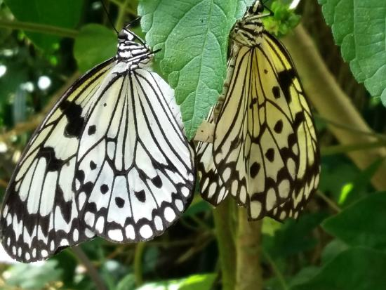 Sanguinet, Γαλλία: papillons qui s'accouplent