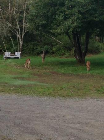 East Machias, Μέιν: Deer in the backyard
