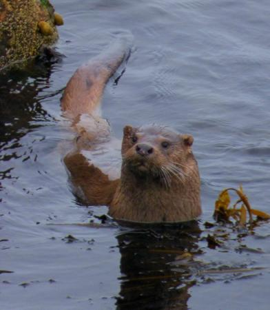 Shetland Nature: One of the otters Garry located