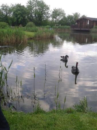 Badwell Ash, UK: Friendly black swans