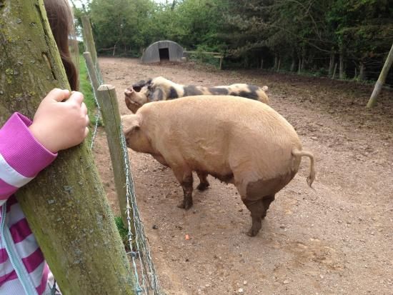 Widmouth Farm Cottages: Feeding the pigs