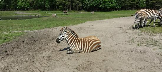 Six Flags Safari : Zebra