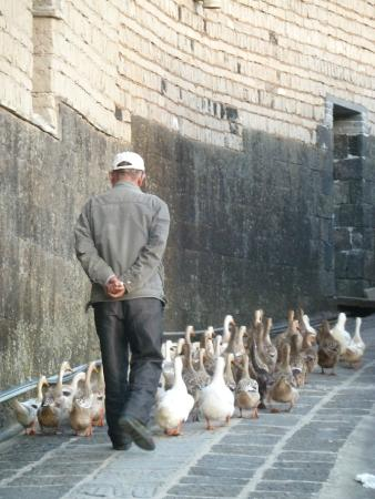 Heshun Hometown: A local man walking his ducks home in the evening