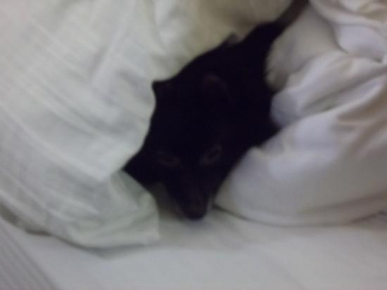 La Quinta Inn Branson on the Strip: our dog Bear relaxing in the soft blankets