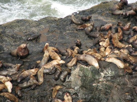 Флоренция, Орегон: Sea Lions outside of cave, from viewing area