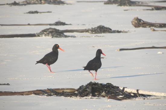 Klein Paradijs: Schwarze Austernfischer am Pearly Beach