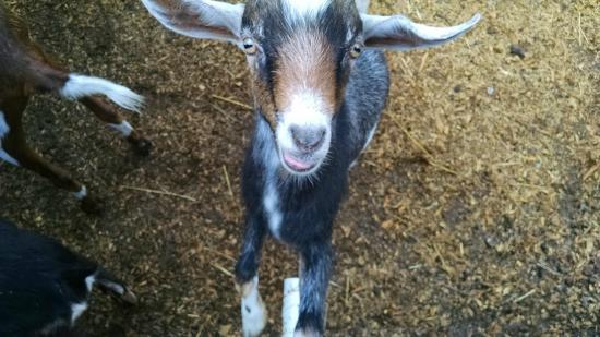 Dillard House: Goat!