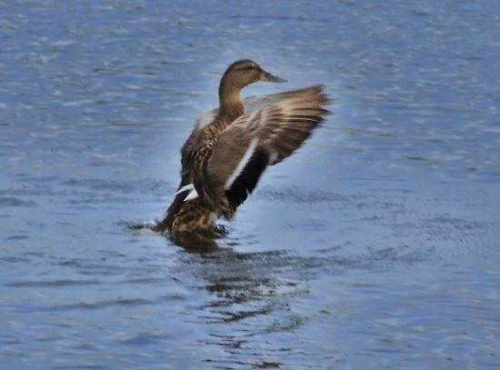 Rising Sun Country Park: Corr - Love a Duck!