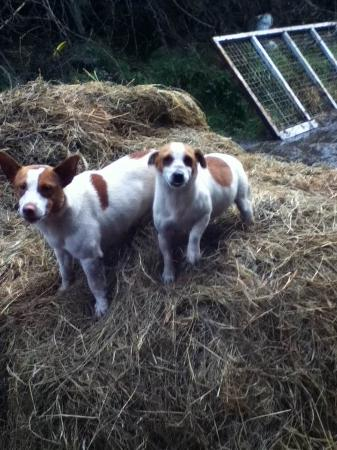 Hillview House Bed & Breakfast Clare: Jack Russell's at Hillview Farm B&B
