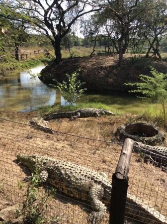 Bonamanzi Game Reserve: One of the crocs !