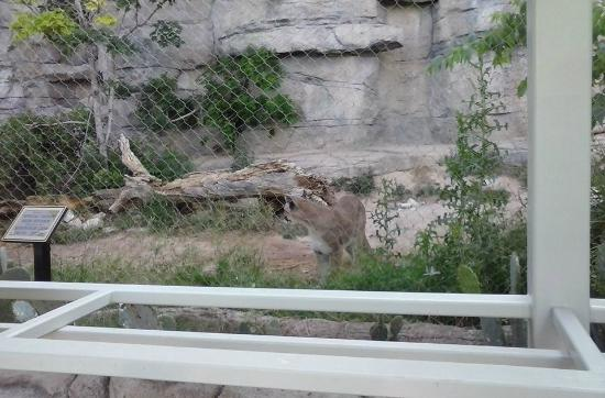 Mountain Lion Picture Of Living Desert Zoo And Gardens State Park Carlsbad Tripadvisor