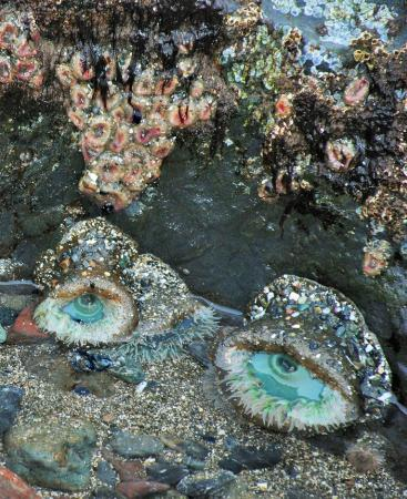 Trinidad, Californien: Giant Green Anemones in tide pools