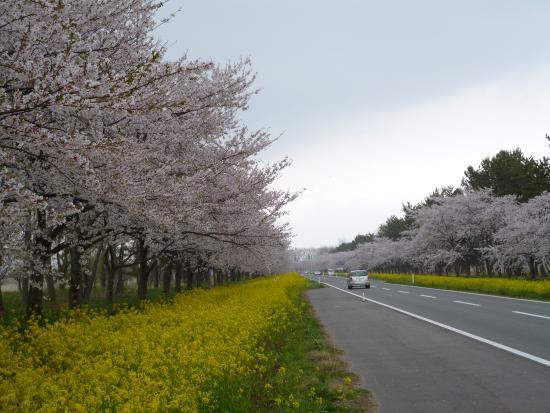 Nanohana Road: ピンクと黄色