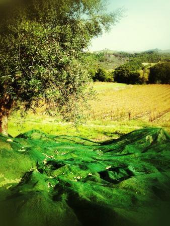 La Valle a Polvereto: Raccolta delle Olive / Olive's Harvest