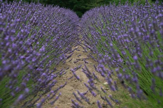 Blue Willow Lavender Farm