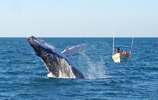 Onca Exploraciones: Humpback whales at its best!
