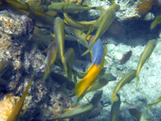 Turneffe Island, เบลีซ: Fish on Snorkel Trip