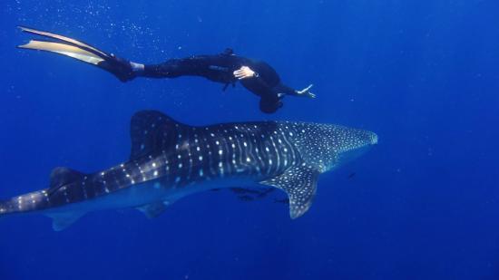 Cala d'Oliva, อิตาลี: Squalo Balena / Whale Shark