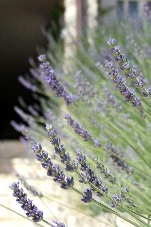 Fox Apartments: Lavender beside the enterance stairs