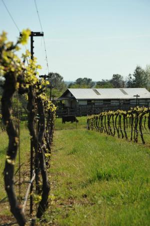 Long Creek Winery: Syrah vines and the old barn