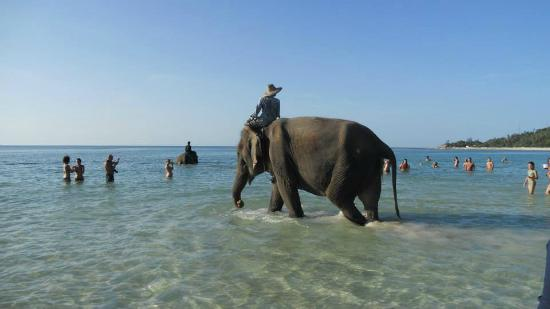 Ao Chaloklum Bay: elefantes bañandose en el mar