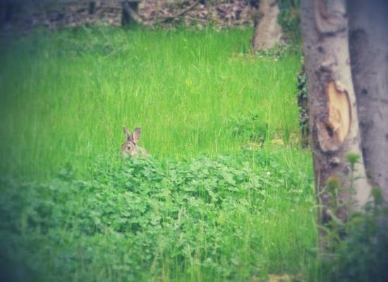 Fermanagh Lodges: Rabbit in garden