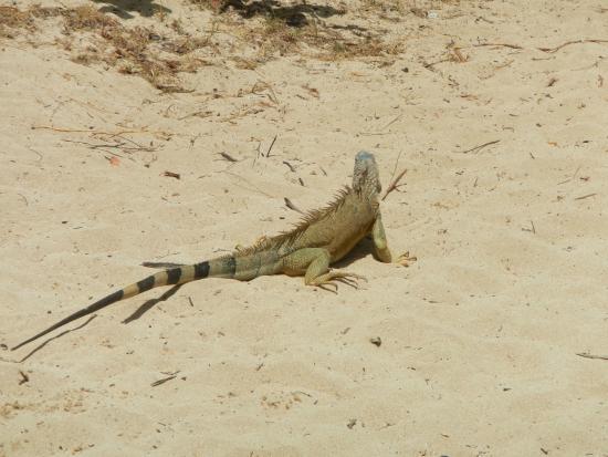 Oyster Pond, St. Martin: Iguanas