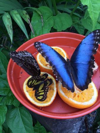 Straffan Butterfly Farm : Photos taken 2nd June 2015. Beautiful creatures!