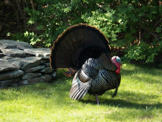 Seacrest Manor: Turkey showing his stuff in the back yard