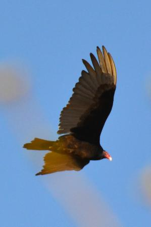 borer s falls conservation area turkey vulture watching overhead